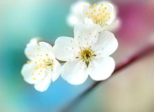 Фото цветы яблони