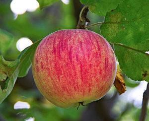 сорта яблонь штрейфлинг