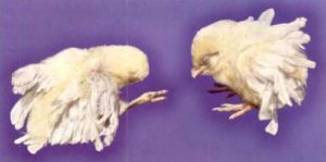 гиповитаминоз в у цыплят бройлеров