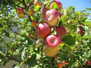 яблоня россошанское