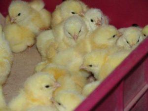 покупка цыплят бройлеров