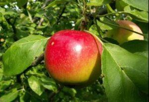 сорта яблонь квинти