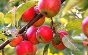 иммунные сорта яблонь