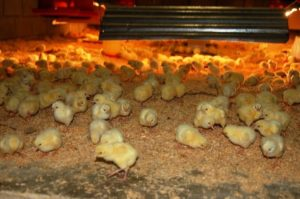 падение цыплят на ноги