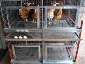 выращивание кур в клетках