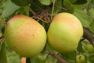 сорта яблонь банановое