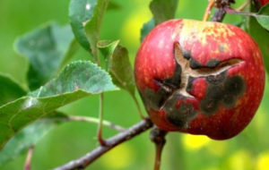 парша на яблоне мельба