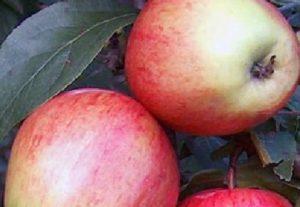 сорта яблонь аркадик