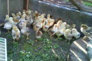 ленинградские цыплята