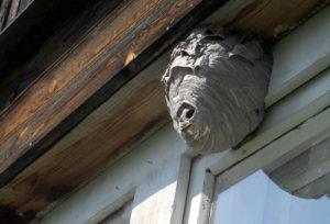 гнездо пчел на доме