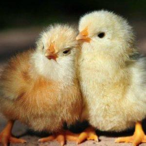 запоры у бройлеров цыплят