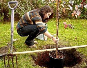 как сажать яблоню осенью