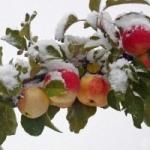 выбор яблонь для сибири