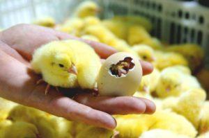 закладка яиц бройлеров