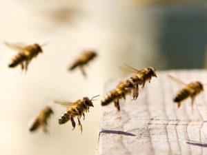 ориентирование пчел