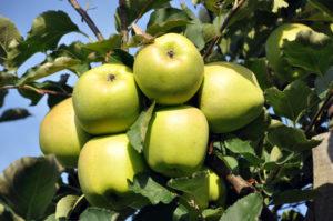сорта яблонь мутсу