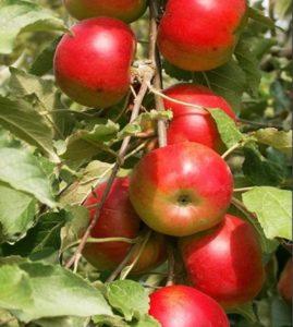 яблоня баргузин