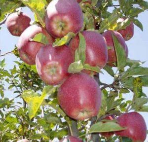 сорт яблок джин