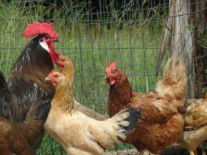 правильный выбор породы кур