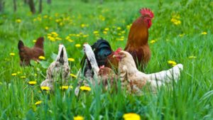 зеленая трава для кур