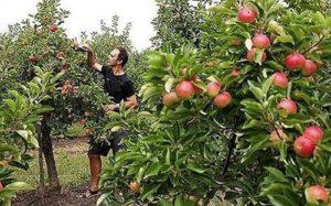 выбор яблони для урала