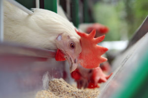 как кормить бройлеров кур
