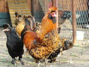 павловские курицы