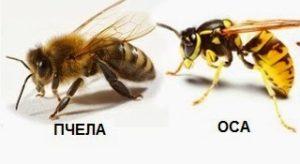 отличия пчел от ос