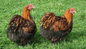 выбор орпингтон порода кур