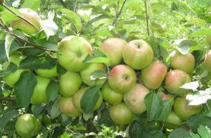 сорта яблонь вербное
