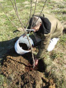 уход за карликовой яблонью