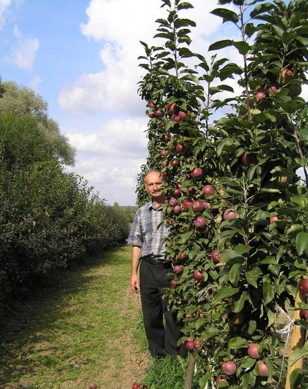 Кто сажал колоновидные яблони 461