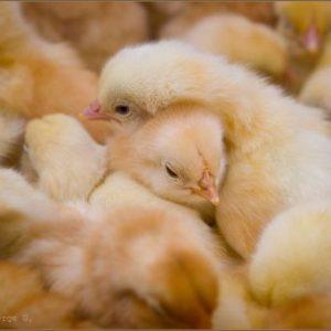 чем лечить цыплят