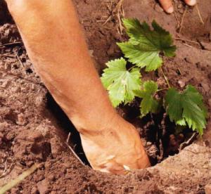 высаживание саженца винограда