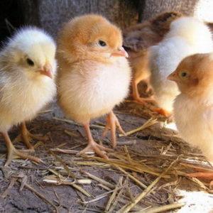 цыпленок храмает
