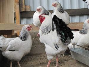 курицы первомайской породы