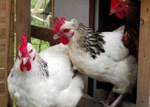первомайская порода куриц