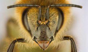 строение головы пчелы
