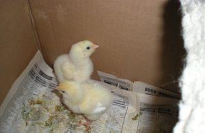 лечение инфекционных заболеваний цыплят