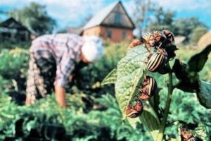 цесарка ест колорадского жука