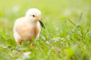 цыпленок с червяком