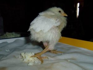 рахит цыпленка