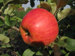 джонаголд яблочко