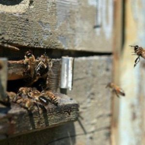 причины осеннего слета пчел