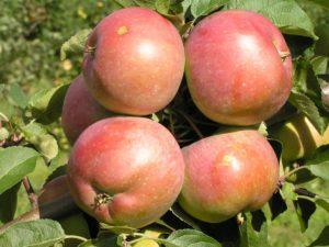 колоновидные яблони выбор сорта