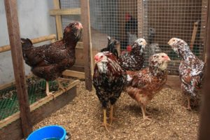 выращивание орловских кур