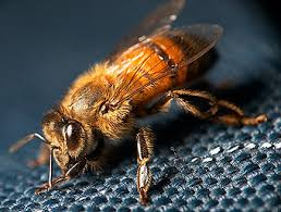 пчела и ее строение