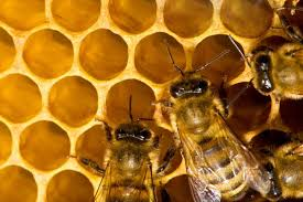 процесс изготовления прополиса пчелами