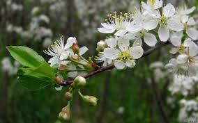 перекрестное опыление яблони