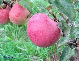 сорт яблок легенда